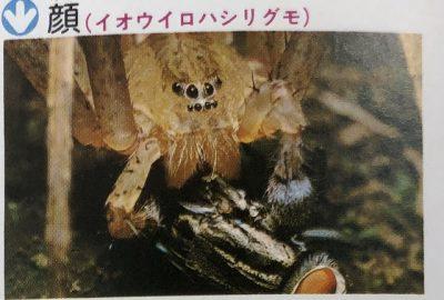イオウイロハシリグモ