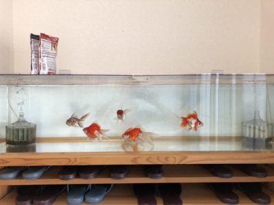 賑やかになった金魚水槽