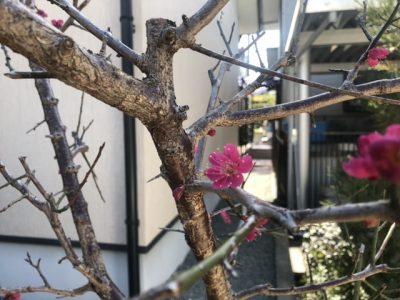 一重咲きの紅梅