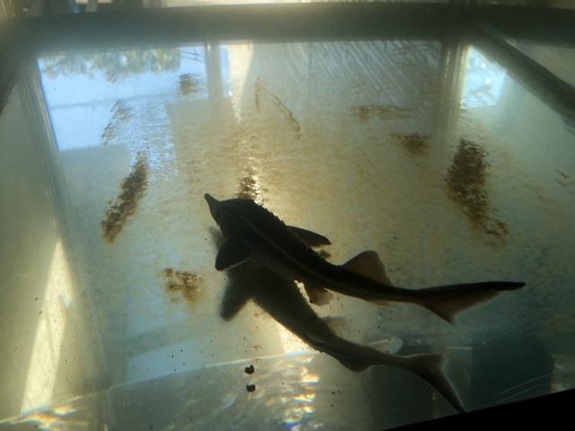 水替え直後のコチョウザメ