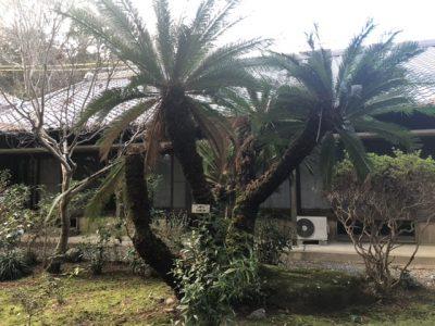 法泉寺庭園のソテツ