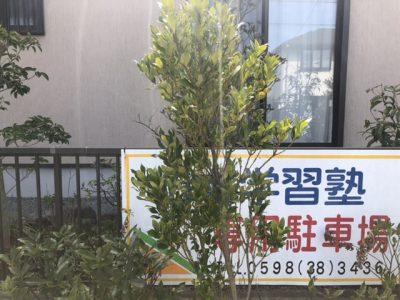 モチノキ(黐の木)