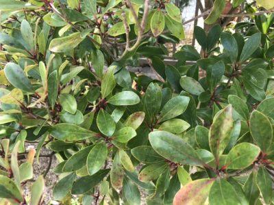 モッコクの葉