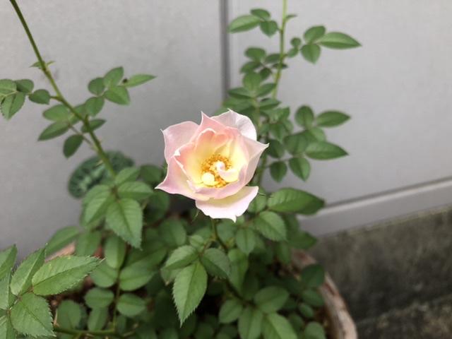 母屋で咲いているバラ1