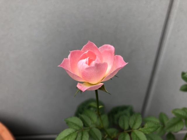 母屋で咲いているバラ2