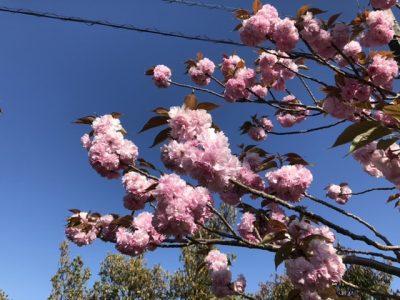 相可台の八重桜